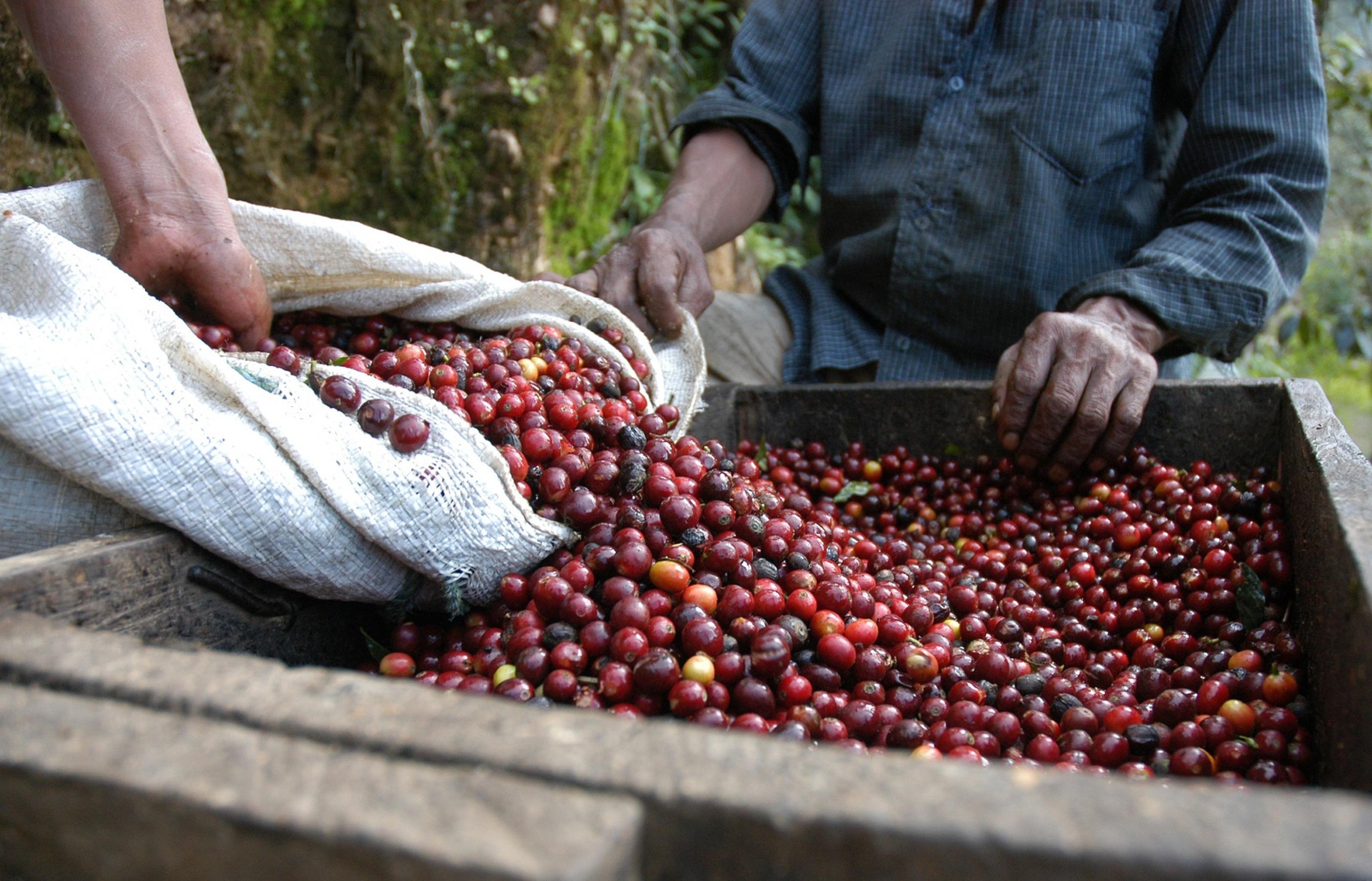 Регионы производства кофе: Гватемала